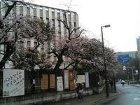 早大早稲田キャンパス南門脇の寒桜