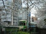桜満開の神田川を渡る都電7500型車両