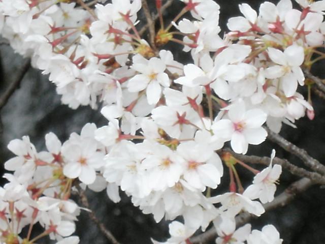 神田川沿いに咲く桜(2008年撮影)
