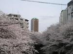 神田川沿いの見事な桜.JPG