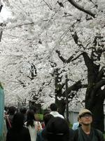 花見客でにぎわう早稲田の神田川沿いの桜並木