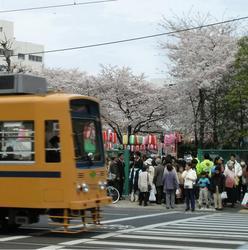 多くの人でにぎわう早稲田さくらまつりの会場の傍らを都電が走る