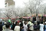 早稲田さくらまつりの会場に集まった中山弘子新宿区長と区議会議員ら