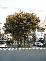 早大通り中央に立派にそびえたつケヤキ並木